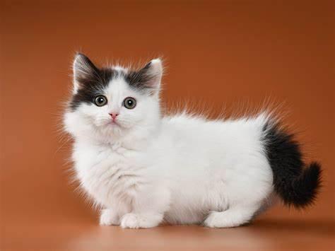 Do the Munchkin Cat Breeds Have Short Stubby Legs?